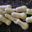 PROFI, Zelenina SEMO – Tykev velkoplodá Butternut, p4074