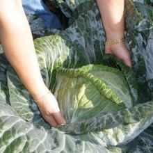 PROFI, Zelenina SEMO - Zelí hlávkové Ritmo F1, p4243 (Brassica oleracea L. convar.capitata (L.) Alef. var. alba DC.)