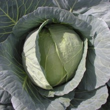 PROFI, Zelenina SEMO - Zelí hlávkové Korino F1, p4250 (Brassica oleracea L. convar.capitata (L.) Alef. var. alba DC.)