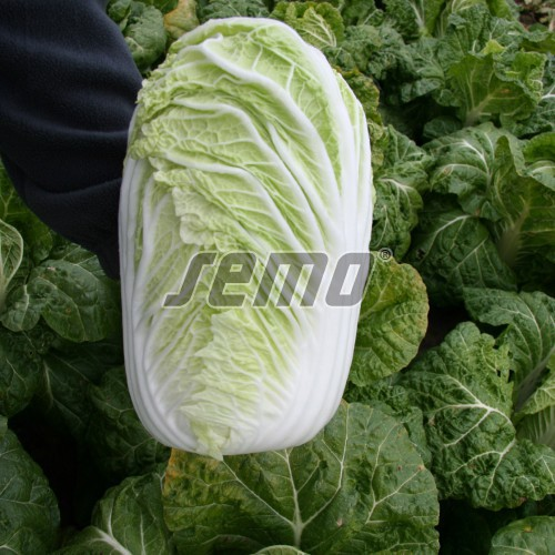 PROFI, Zelenina SEMO - Zelí pekingské Concord F1, p4406 (Brassica rapa L. var. rapa L.)