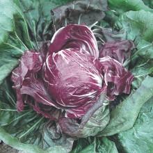PROFI, Zelenina SEMO - Čekanka salátová Palla rossa 3, p4802 (Cichorium intybus L.)