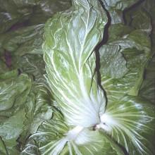 PROFI, Zelenina SEMO - Čekanka salátová Bravo, p4813 (Cichorium intybus L.)