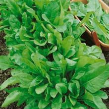 PROFI, Zelenina SEMO - Mangold Gator, p4905 (Beta vulgaris L. var. Vulgaris)