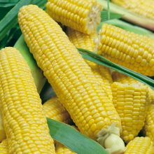 PROFI, Zelenina SEMO - Kukuřice setá cukrová Luminox F1, p1730 (Zea mays L.)