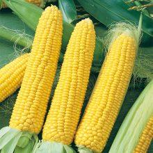 PROFI, Zelenina SEMO - Kukuřice setá cukrová Longa F1, p1731 (Zea mays L.)