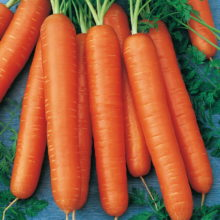 PROFI, Zelenina SEMO - Mrkev obecná Nantes 3, p2205 (Daucus carota L.)