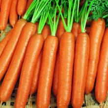 PROFI, Zelenina SEMO - Mrkev obecná Karotina, p2221 (Daucus carota L.)