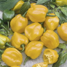 PROFI, Zelenina SEMO - Paprika roční Habanero Lemon, p2556 (Capsicum annuum L.)