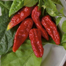 PROFI, Zelenina SEMO - Paprika roční Naga Morich, p2557 (Capsicum annuum L.)
