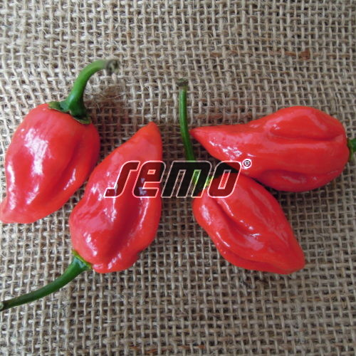 PROFI, Zelenina SEMO - Paprika roční Habanero Red, p2559 (Capsicum annuum L.)