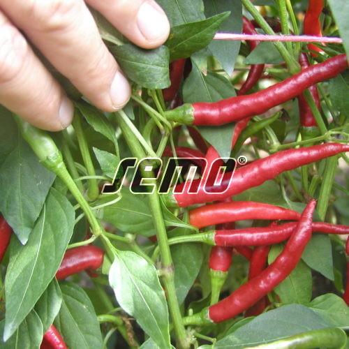 PROFI, Zelenina SEMO - Paprika roční Damián, p2561 (Capsicum annuum L.)