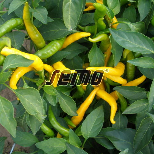 PROFI, Zelenina SEMO - Paprika roční Kristián, p2563 (Capsicum annuum L.)