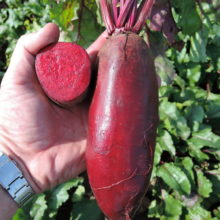 PROFI, Zelenina SEMO - Řepa salátová Karkulka, p3510 (Beta vulgaris L.var.conditiva Alef.)