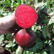 PROFI, Zelenina SEMO - Řepa salátová Red Shine, p3512 (Beta vulgaris L.var.conditiva Alef.)