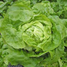 PROFI, Zelenina SEMO - Salát hlávkový Smaragd S, p3704 (Lactuca sativa L. var.capitata L.)