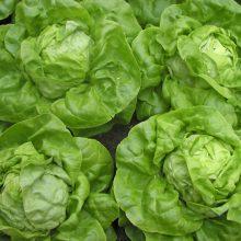 PROFI, Zelenina SEMO - Salát hlávkový Safír, p3753 (Lactuca sativa L. var.capitata L.)