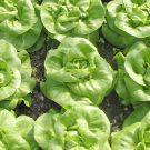 PROFI, Zelenina SEMO – Salát hlávkový Děvín, p3761