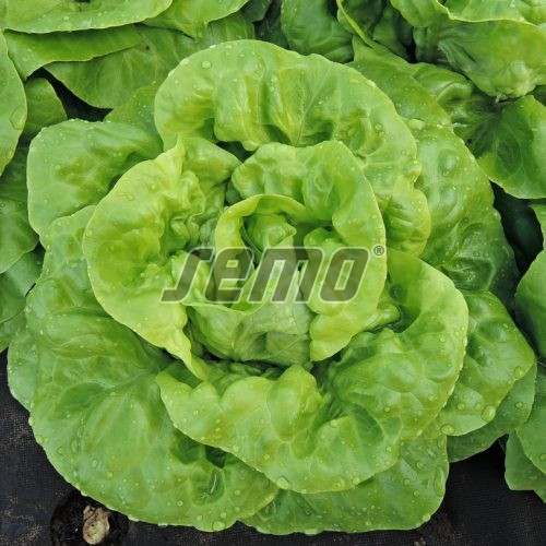 PROFI, Zelenina SEMO - Salát hlávkový Děvín, p3761 (Lactuca sativa L. var.capitata L.)