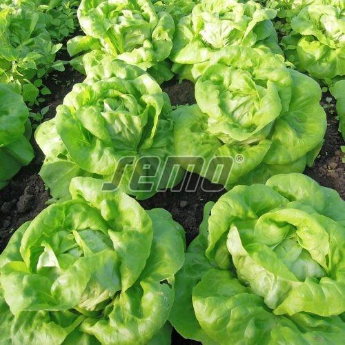 PROFI, Zelenina SEMO - Salát hlávkový Deon, p3802 (Lactuca sativa L. var.capitata L.)