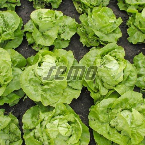 PROFI, Zelenina SEMO - Salát hlávkový Maraton, p3804 (Lactuca sativa L. var.capitata L.)