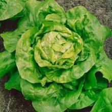 PROFI, Zelenina SEMO - Salát hlávkový Král Máje 1, p3805 (Lactuca sativa L. var.capitata L.)