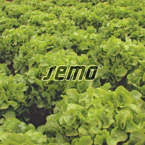 PROFI, Zelenina SEMO - Salát listový Dubagold, p3863 (Lactuca sativa L. var. capitata L.)