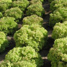 PROFI, Zelenina SEMO - Salát listový Rosaura, p3866 (Lactusa sativa)