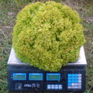 PROFI, Zelenina SEMO – Salát listový Zlatava, p3867