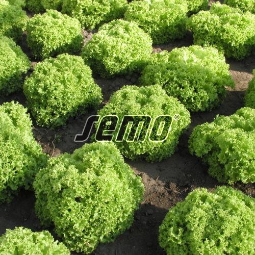 PROFI, Zelenina SEMO - Salát listový Zlatava, p3867 (Lactuca sativa L. var. capitata L.)
