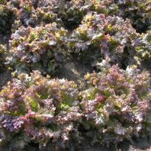 PROFI, Zelenina SEMO - Salát listový Roden, p3868 (Lactuca sativa L. var. capitata L.)