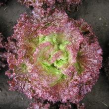 PROFI, Zelenina SEMO - Salát listový Roset, p3869 (Lactuca sativa L. var. capitata L.)