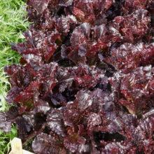 PROFI, Zelenina SEMO - Salát listový Dark Roden, p3871 (Lactuca sativa L. var. capitata L.)