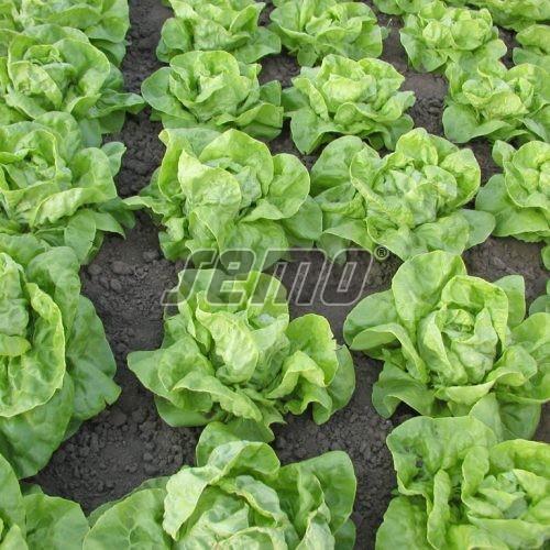 PROFI, Zelenina SEMO - Salát hlávkový Humil, p3882 (Lactuca sativa L. var.capitata L.)