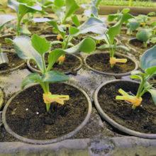 PROFI, Zelenina SEMO - Podnože na roubování okurek SM-Fíkolistá, p4031 (Cucurbita maxima x cucurbita moschata)