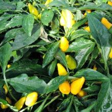 PROFI, Zelenina SEMO - Papričky okrasné Plamínek žlutý, p9138 ()