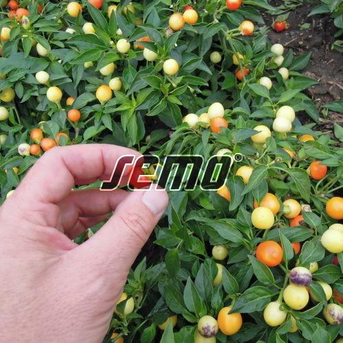 PROFI, Zelenina SEMO - Papričky okrasné Emma, p9144 ()
