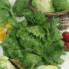 PROFI, Zelenina SEMO - Salát ledový, p3840 (Lactuca sativa L.)