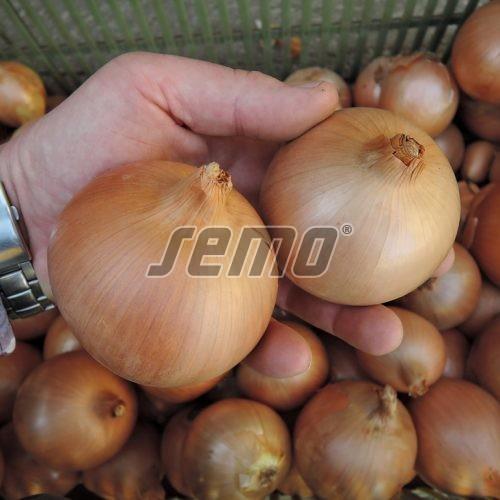 PROFI, Zelenina SEMO - Cibule Aeneus F1, p0526 (Allium cepa L.)