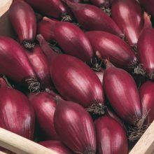 PROFI, Zelenina SEMO - Cibule kuchyňská Karminka, p0549 (Allium cepa L.)