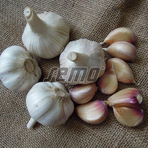 PROFI, Zelenina SEMO - Česnek Václav, p0808 (Allium sativum L.)