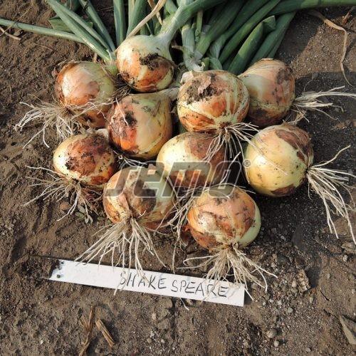 PROFI, Zelenina SEMO - Cibule sazečka Shakespeare, p0841 (Allium cepa L.)