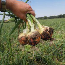 PROFI, Zelenina SEMO - Cibule sazečka Corrado F1, p0869 (Allium cepa L.)