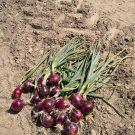 PROFI, Zelenina SEMO – Cibule sazečka Romy, p0872