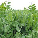 PROFI, Zelenina SEMO – Hrách setý dřeňový Cedrik, p1072