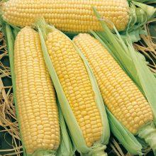 PROFI, Zelenina SEMO - Kukuřice setá cukrová Elan F1, p1760 (Zea mays L. convar. saccharata Koern.)