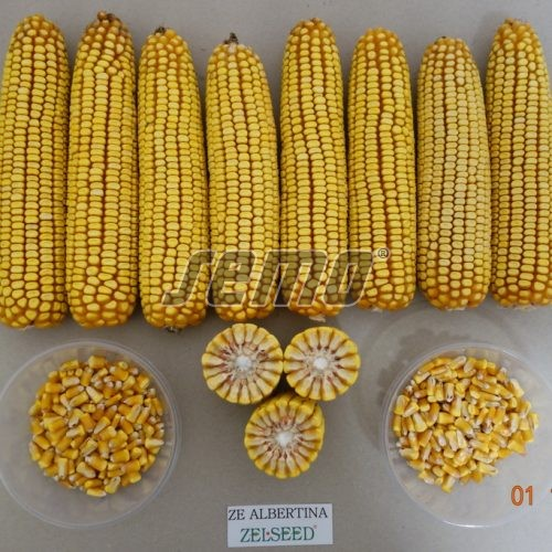 PROFI, Polní plodiny a ostatní - Kukuřice setá ZELSEED ZE Albertina, p1791 (Zea mays)