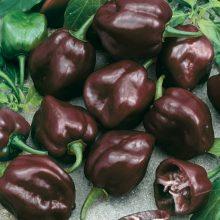 PROFI, Zelenina SEMO - Paprika roční Habanero Chocolate - pálivá, p2555 (Capsicum chinense)