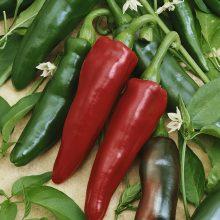 PROFI, Zelenina SEMO - Paprika Jalahot F1 - pálivá, p2572 (Capsicum annuum L.)
