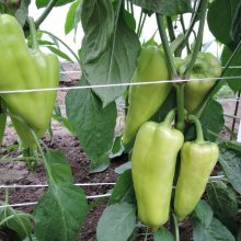PROFI, Zelenina SEMO - Paprika roční Slovanus F1, p2597 (Capsicum annuum L.)