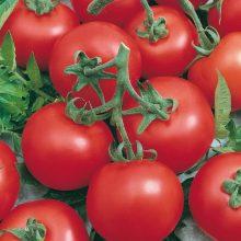 PROFI, Zelenina SEMO - Rajče tyčkové Niki Zel F1, p3215 (Solanum lycopersicum L.)